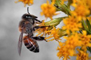 Thuốc diệt cỏ... diệt cả ong