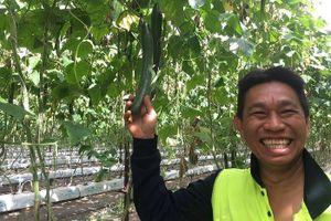 Nông dân gốc Việt ở Australia bội thu nhờ dưa chuột khan hiếm giá cao