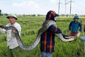 Trăn gấm dài 2,5m được người dân đi gặt lúa bắt đã được thả về tự nhiên