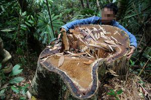 Bắt giám đốc doanh nghiệp phá rừng