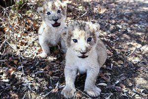 Sư tử nhân tạo đầu tiên trên thế giới