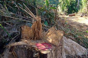 Bắt giám đốc Công ty Xuân Chí để điều tra về hành vi phá rừng