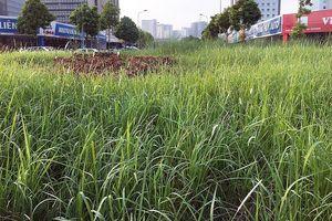 Cỏ dại mọc như 'rừng' trên đường phố Hà Nội