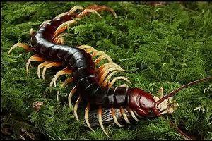 Cận cảnh 'quái vật' rết khổng lồ săn mồi trong rừng rậm Amazon