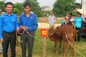Trao 40 con bò giống cho đoàn viên thanh niên nghèo