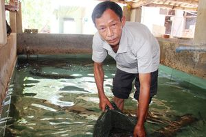 Bí kíp kiếm 400 triệu đồng/năm nhờ nuôi chình của lão nông đất võ Bình Định