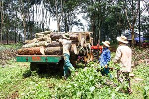 Chủ động nguyên liệu gỗ nội địa