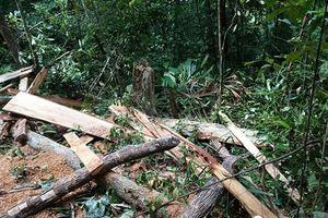 Thừa Thiên - Huế: Điều tra vụ rừng phòng hộ A Lưới bị tàn phá