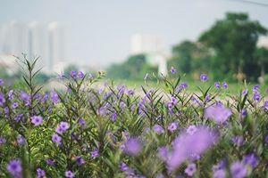 Cứ ngỡ là một dòng sông 'chết' nào ngờ Tô Lịch cũng có lúc đẹp thơ mộng thế này đây!