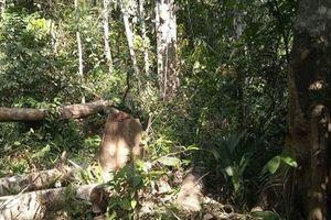 Phát hiện một vụ phá rừng lấy gỗ trái phép ở Bình Phước