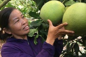 Liều trồng bưởi da xanh trên đất dốc, cây thấp tè trái đã trĩu cành