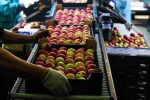 Phương Tây cấm vận Nga và mùa táo 'đắng' của nông dân Ba Lan