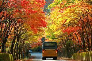 Cùng TransViet vi vu chiêm ngưỡng lá vàng mùa thu Hàn - Nhật