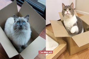 Vì sao lũ mèo lại có đam mê bất tận với các loại thùng hay hộp giấy?