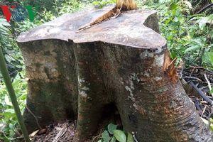 Đình chỉ công tác 2 Trạm trưởng liên quan vụ phá rừng ở Thừa Thiên-Huế