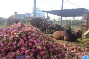 Nông dân Bình Thuận đem thanh long đổ cho bò ăn