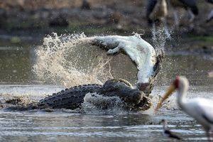 Hãi hùng cảnh cá sấu 'khổng lồ' ăn thịt đồng loại