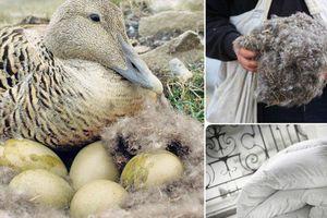 Choáng váng chiếc chăn làm bằng lông vịt có giá lên đến 350 triệu đồng