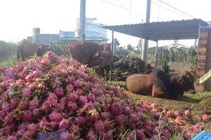 Bình Thuận: Nông dân đem thanh long đổ cho bò ăn