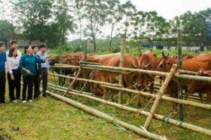 'Hóa giải' điểm yếu của chăn nuôi đại gia súc: Cải tạo và nâng cao chất lượng giống