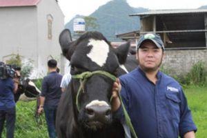Lò luyện 'hoa hậu bò sữa', đi... catwalk đặc biệt ở Mộc Châu