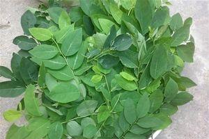 Cách chọn rau ngót không thuốc trừ sâu hiệu quả nhất
