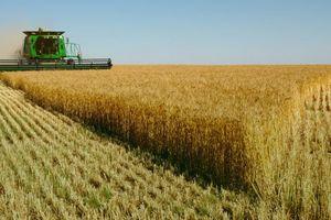 Lúa mì nhập khẩu có cỏ cirsium arvense: cấm hay không cấm?