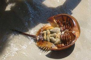 Ăn con so biển to bằng bát cơm, người đàn ông suýt chết