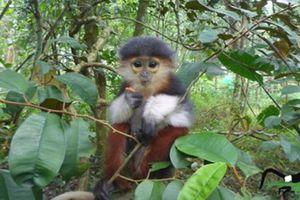 Vẻ đẹp 'hoa khôi' thế giới khỉ, chỉ có ở Việt Nam