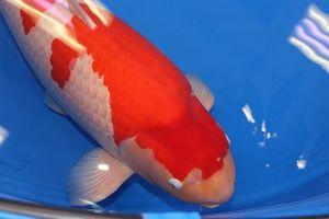 Cận cảnh cá Koi đắt nhất thế giới được bán 42 tỷ đồng