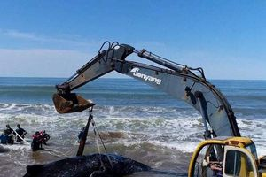 30 người giải cứu cá voi mắc kẹt ở bờ biển Argentina