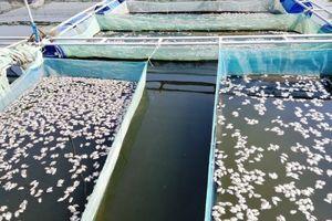 TP Hội An: Cá nuôi lồng bè chết trắng hàng loạt