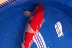 Cá Koi dài 1 m đắt nhất thế giới, giá 41,5 tỷ đồng