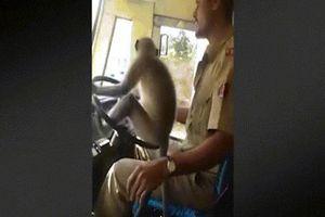 Khỉ ngồi ghế lái điều khiển xe bus chở khách ở Ấn Độ