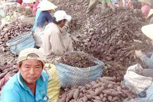'Tắc cửa' sang Trung Quốc, 1 ký khoai chưa mua nổi cốc trà đá