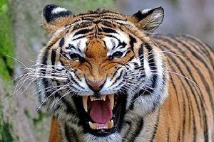 Câu chuyện rùng rợn về hổ cái ăn thịt người vùng Champawat