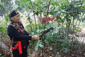 Nguy cơ thất truyền nghề bốc thuốc nam của đồng bào dân tộc Dao ở Ba Vì