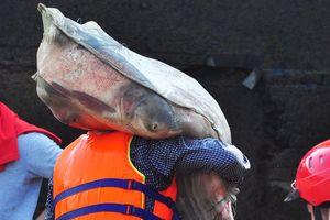 Bắt cá mè nặng 15 kg ở chân đập thủy điện