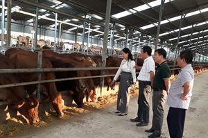 Chăn nuôi đại gia súc theo chuỗi an toàn thực phẩm