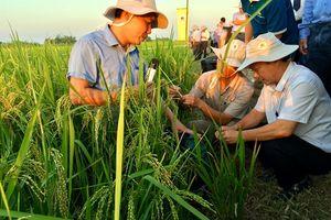Bàn cách diệt rầy hại lúa