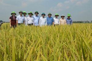 Thái Bình được mùa, năng suất lúa ước đạt 60 tạ/ha