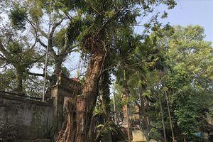 Dân làng mừng rỡ vì nghe tin Hà Nội đồng ý cho bán cây sưa 100 tỷ đang 'hấp hối'