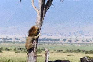 Trâu rừng tấn công, sư tử sợ hãi ôm thân cây trốn