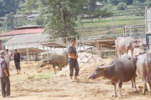 Thương lái Trung Quốc ép giá: Chợ trâu Cán Cấu ế nặng