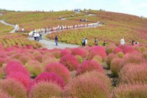 Ngọn đồi đổi màu ở Ibaraki