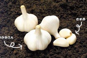 Tỏi organic Nhật 100.000 đồng/củ 'gây sốt' ở VN được trồng thế nào?