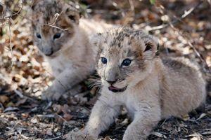 Cặp sư tử con đầu tiên chào đời bằng thụ tinh nhân tạo