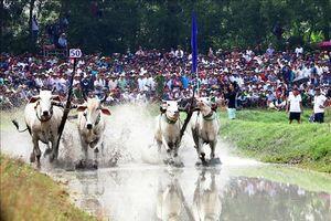 Sôi nổi hội đua bò Bảy Núi - An Giang