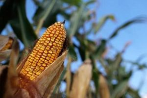 Giá các mặt hàng nông sản trên sàn CBOT đều tăng khá cao
