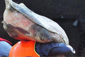 Thủy điện Trị An đóng đập, dân đổ xô bắt cá khủng